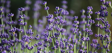 Cumparam floare de lavanda